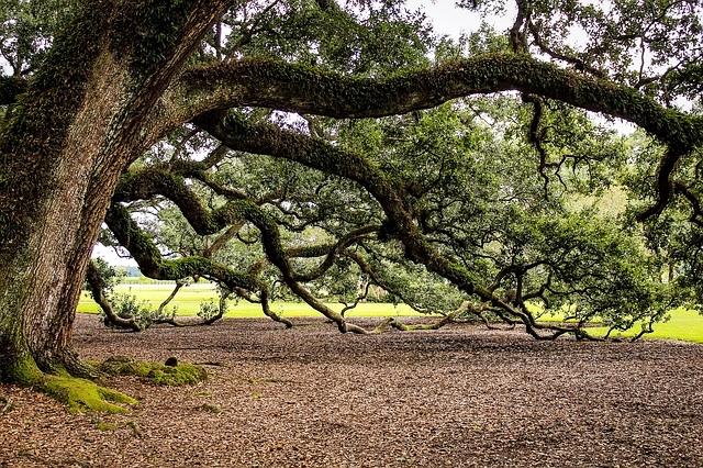 virginia-live-oak-440351_640